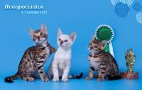 бенгальские котята Лучший помет выставки кошек