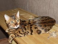 бенгальский котенок 6 месяцев