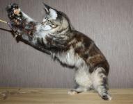 кошка мейн кун 1 год