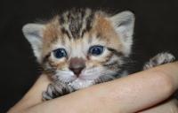 золотой бенгальский котенок