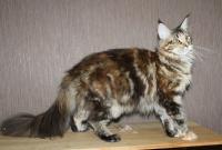 кошка мейн кун мраморная черепаха