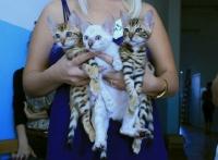 золотые и снежный бенгальские котята