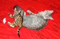 бенгальский котенок и котенок мейн кун