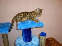 бенгальский котенок 3 месяца