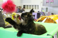 котенок мейн кун девочка 6 месяцев