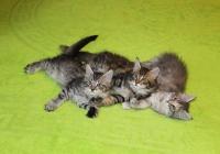 котята мейн кун от Рыси и Ренуара