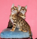 два бенгальских котенка