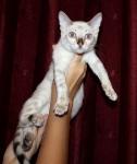 Снежный бенгальский котенок