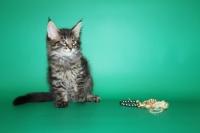 котенок мейн кун Бандерас