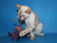 бенгальский котенок 5 месяцев