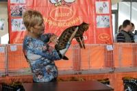 бенгальский котенок победитель ринга бенгалов