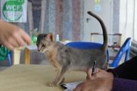 котенок на выставке кошек Новороссийск