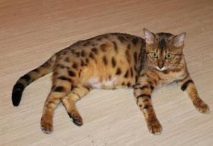 Беременность кошки сроки и признаки