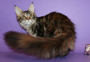 Породы котов с длинными хвостами