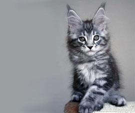 Окрасы котов мейн кунов фото