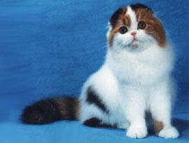 кошка арлекин