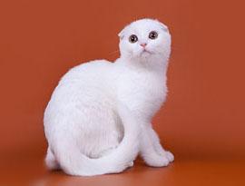 кошка мел солид