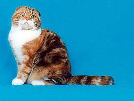 кот биколор