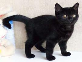 котенок каледонский черный