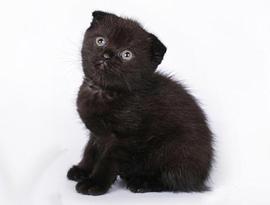 котенок вороной солид