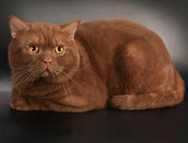 Вислоухий кот шотландский коричневый