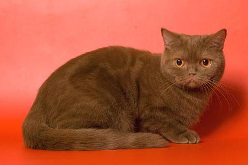 коричневая шотландская кошка