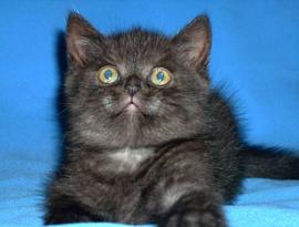 котенок каледонский дымчатый