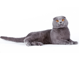 кошка голубого окраса