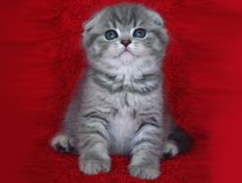 котенок окраса лазоревый тэбби