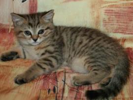котенок окраса буро-желтый тебби