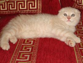 котенок белый тэбби