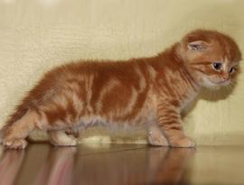 котенок матово-белый тэбби