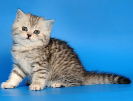 котенок тэбби полосатый