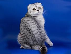 кот из окрасом тэбби
