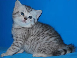 шотландский котенок окраса заливистый тэбби