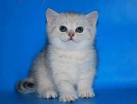 котенок серебряный