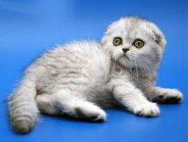 котенок шиншилла
