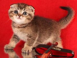котенок гэльский тиккированный
