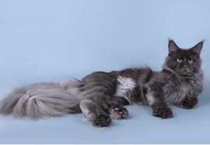 Особенность котов мейн кун